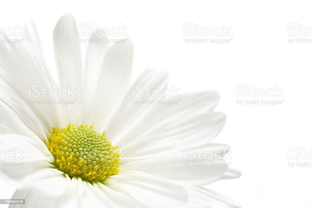 daisy highkey royalty-free stock photo