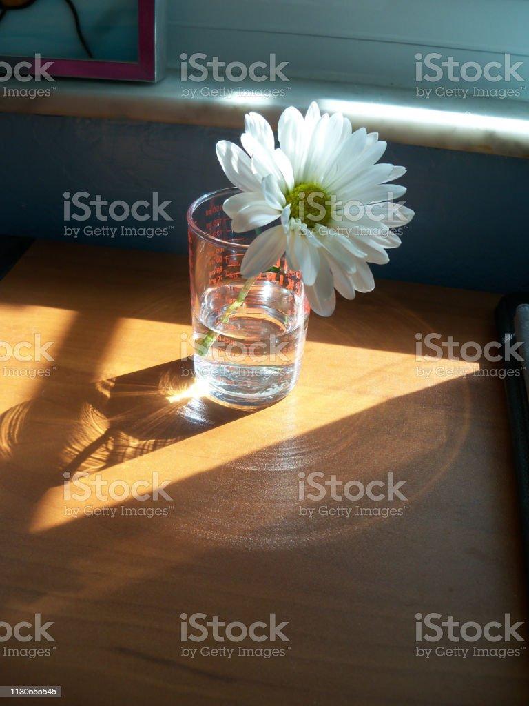 Daisy in a sunny window stock photo