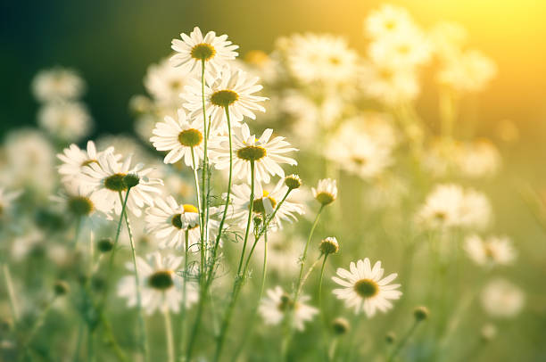 daisy in field in sunlight - looking into the sun - june stock photos and pictures