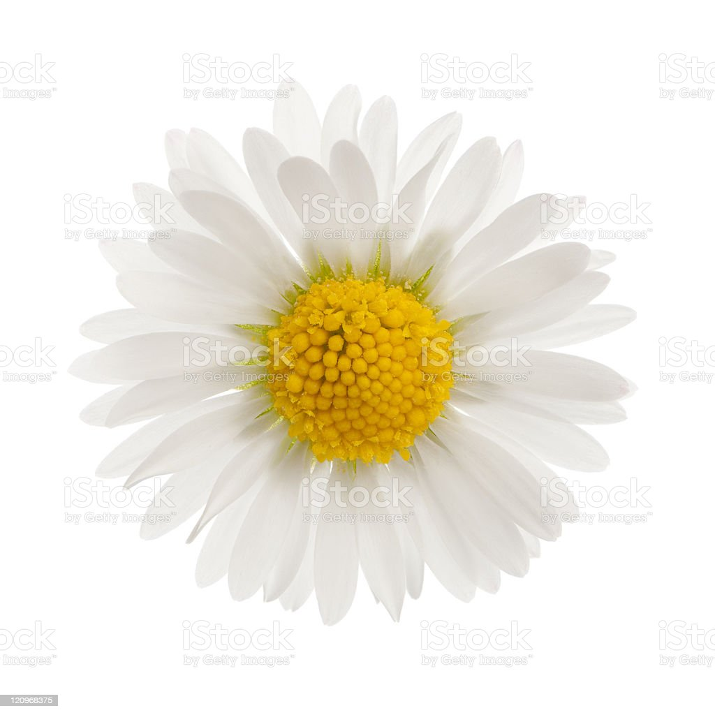 Daisy, in front of white  background. royalty-free stock photo