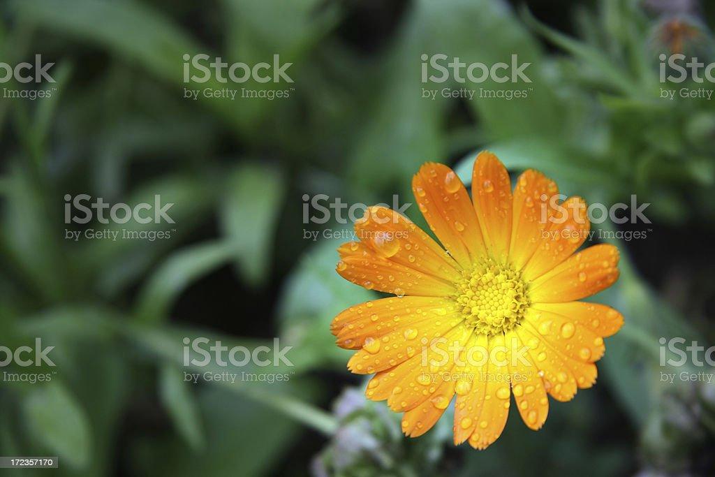 Daisy  in grass royalty-free stock photo
