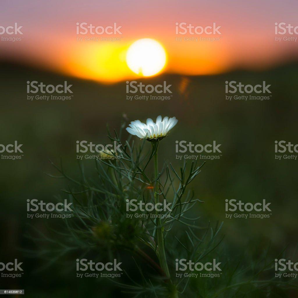 Daisy in sunset stock photo