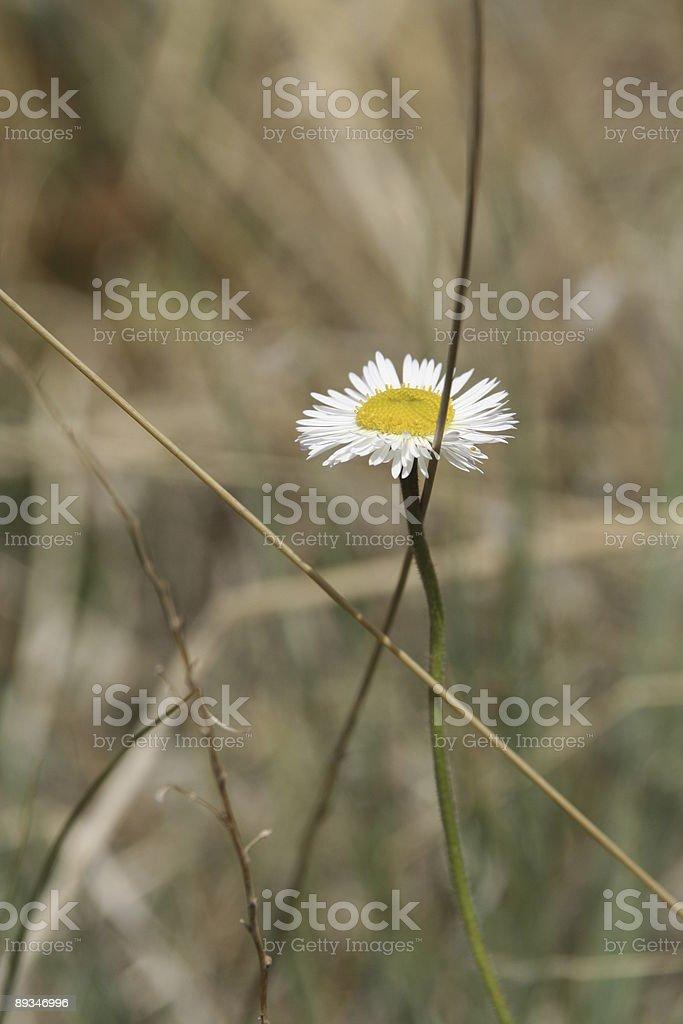Daisy in the desert royalty-free stock photo