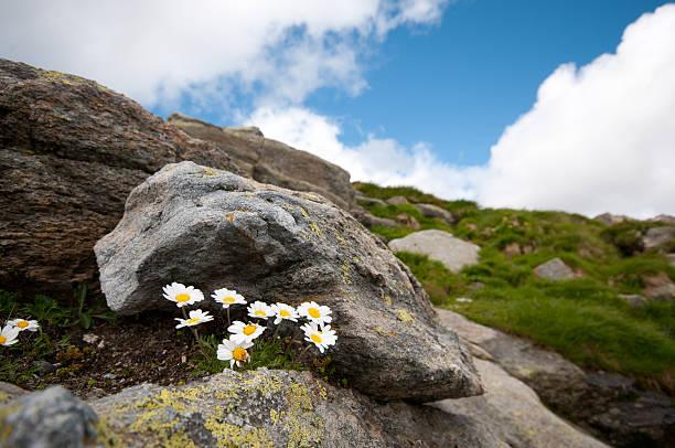 gänseblümchen im fuorcla surlej - patrick hutter stock-fotos und bilder
