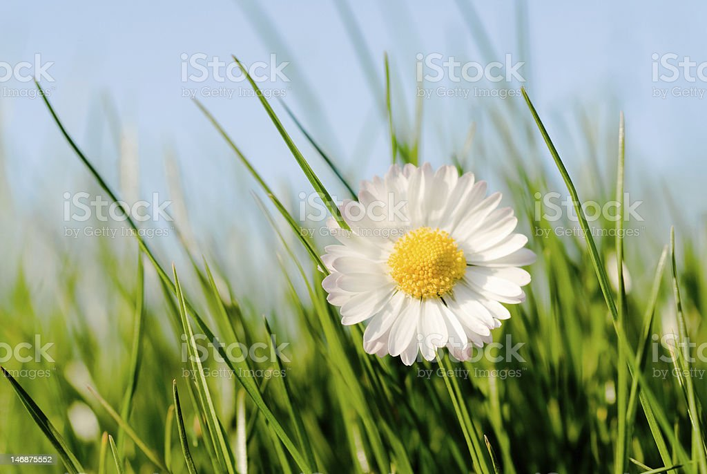 daisy in the grass stock photo