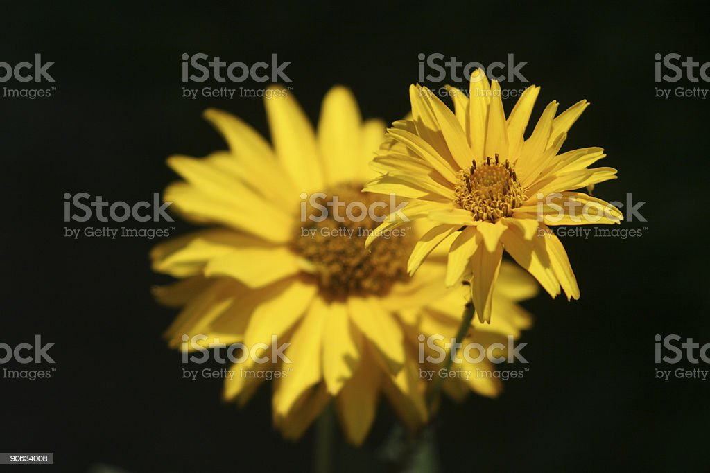 Daisy in training royalty-free stock photo