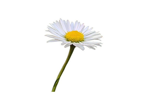 daisy intensive isolated - madeliefje stockfoto's en -beelden