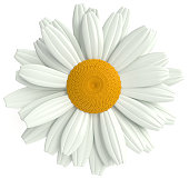 daisy, on white background, 3d rendering