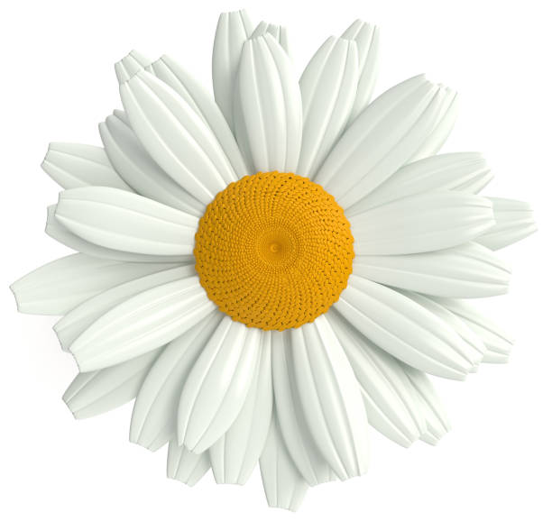 Daisy isolated 3d rendering picture id1213915304?b=1&k=6&m=1213915304&s=612x612&w=0&h=fy6kq 3suhx5c6xypicdcy0p9zz1k8avxktnkq19lk8=