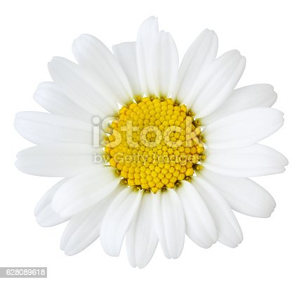Daisy isolated on white background inclusive clipping path