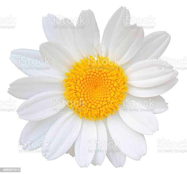 Daisy isolated on white background picture id486387614?b=1&k=6&m=486387614&s=612x612&h=czmvw  ngyllnowfpumocnicu zaqfco7qsmnv8sneq=