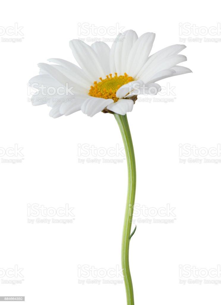 Daisy (Margerite) isolated on white background stock photo