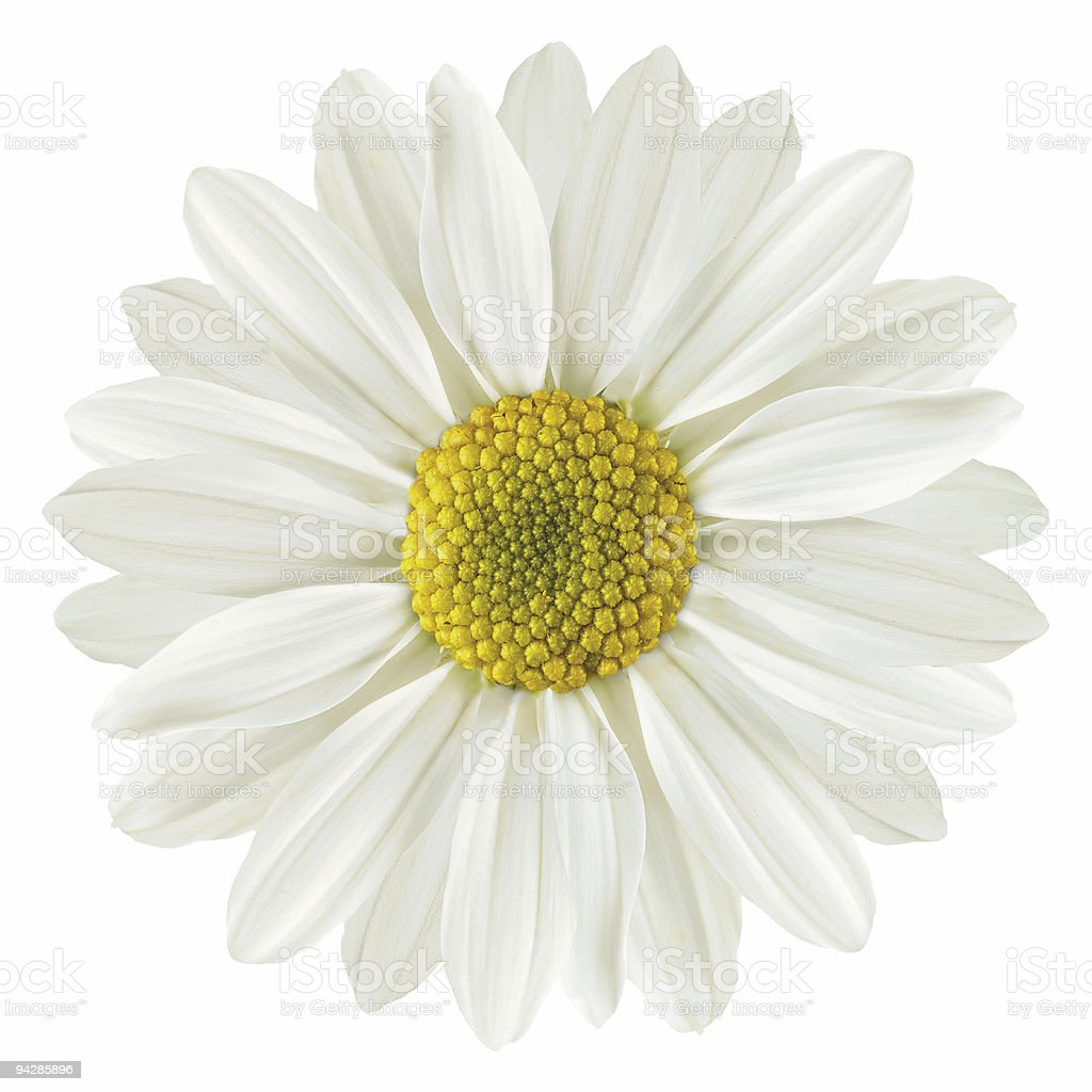 Daisy isolated on white royalty-free stock photo