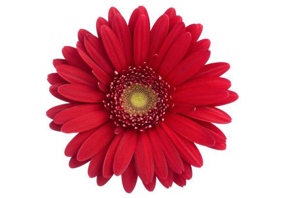 Daisy isolated picture id172713366?b=1&k=6&m=172713366&s=612x612&w=0&h=ejzlryce2f1muey06 2nyanf1y w5tddh4p1xevlegu=