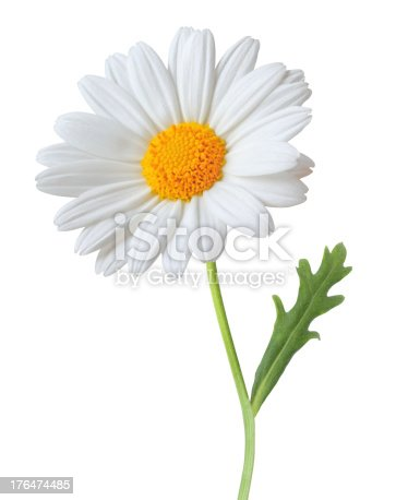 Daisy isolated on white background. With clipping path.