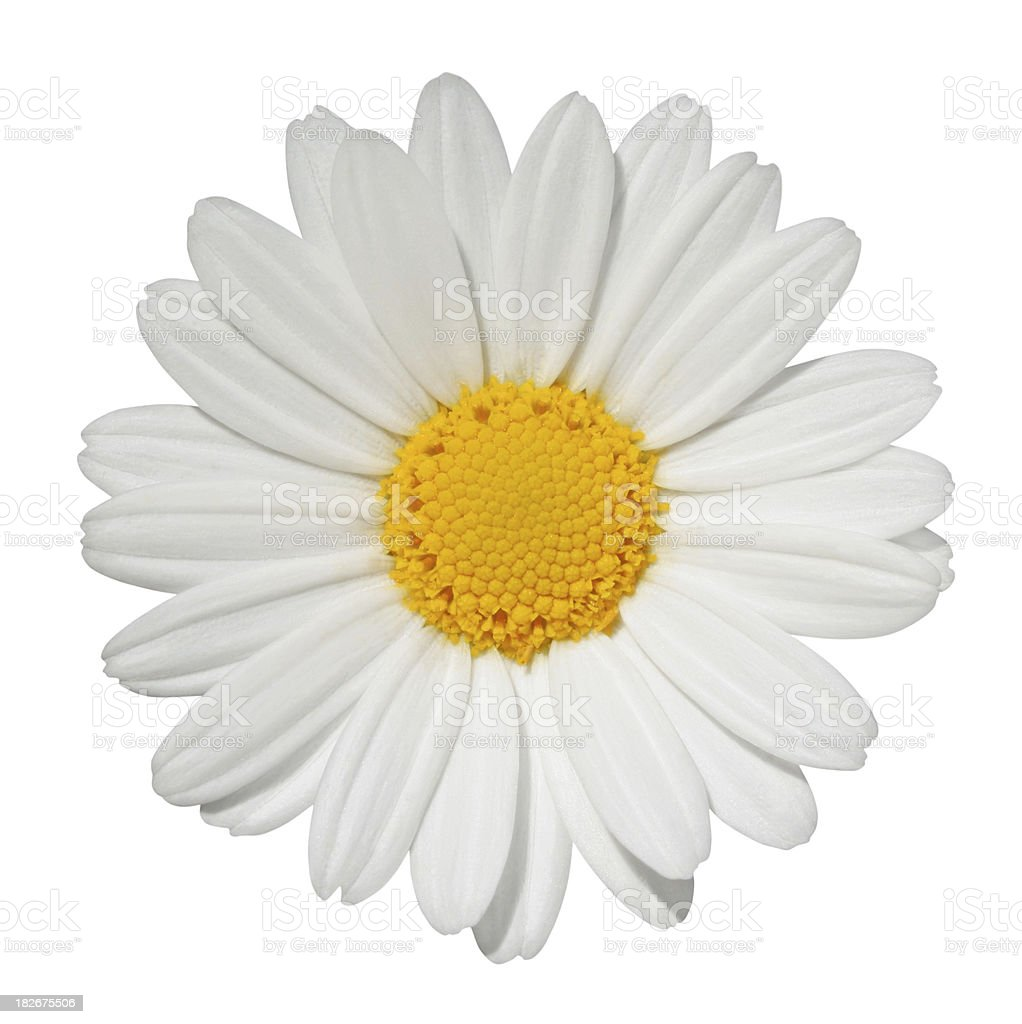 Daisy isolated stock photo
