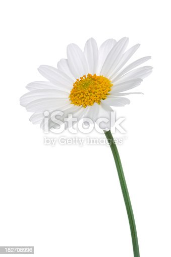 Studio Shot of White Colored Daisy Isolated on White Background