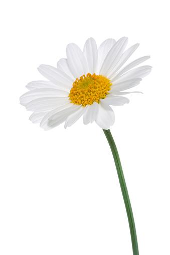 Studio Shot of White Colored Daisy Isolated on White Background