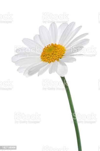 Photo of Daisy isolated