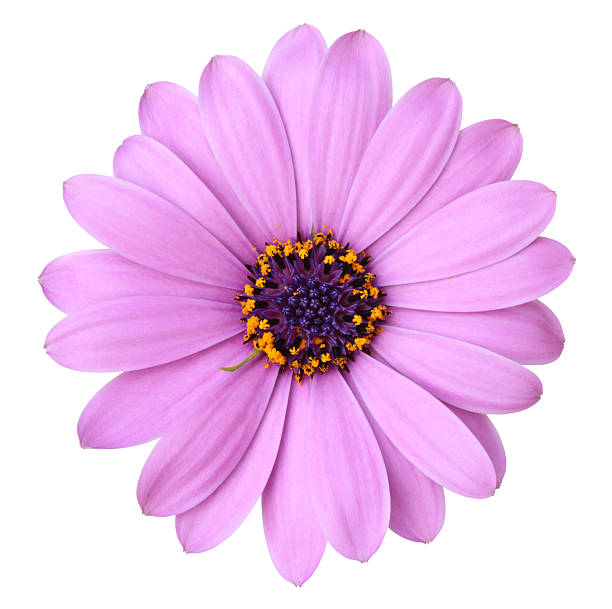 Purple Daisy Flower: Royalty Free Purple Daisy Pictures, Images And Stock