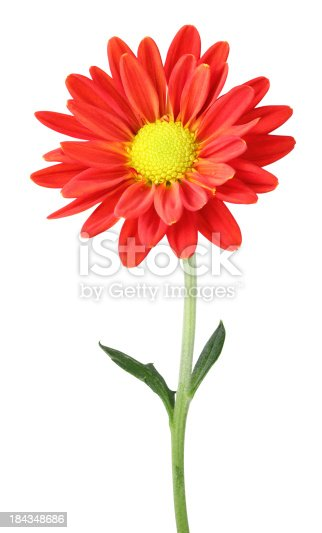 Chrysanthemum (Chrysantheme) isolated on white background.