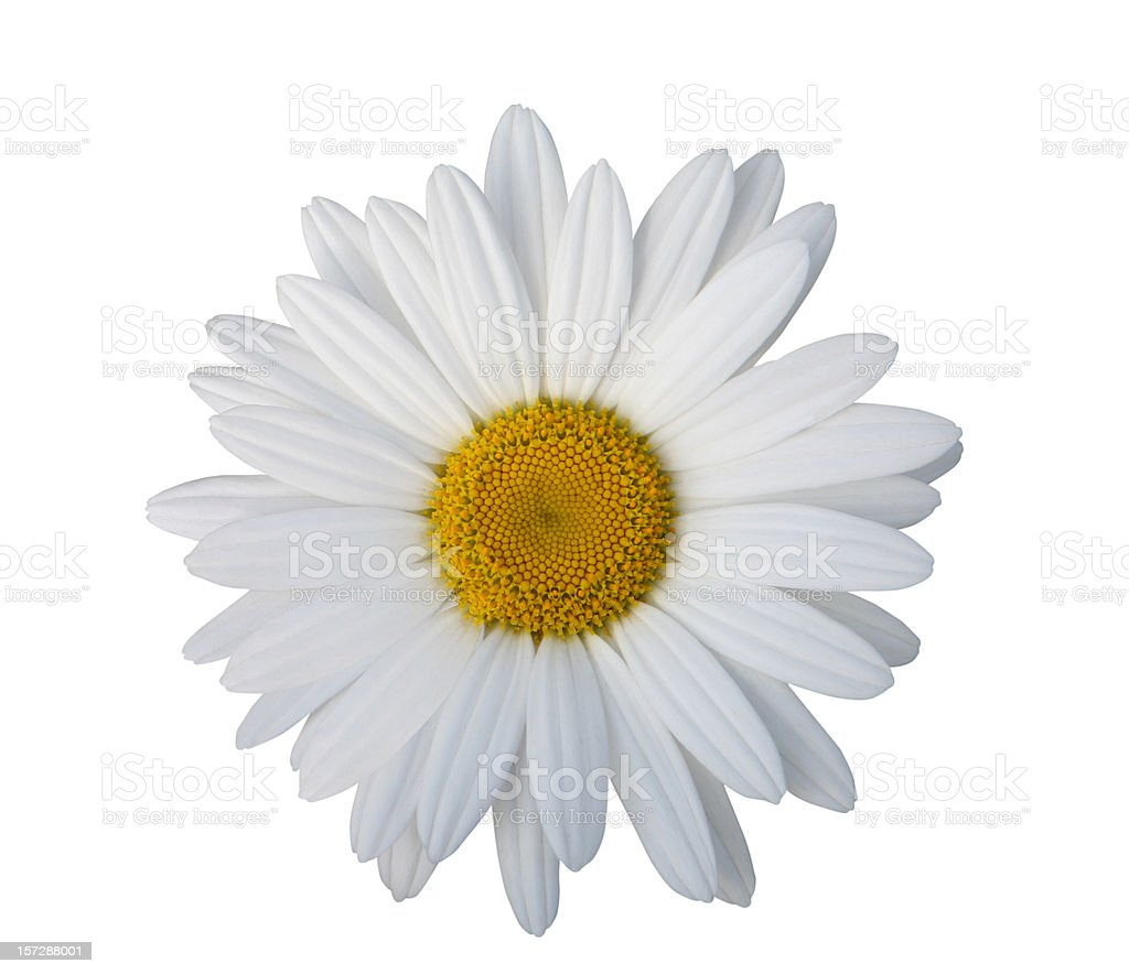Daisy Isolated with Clipping Path royalty-free stock photo