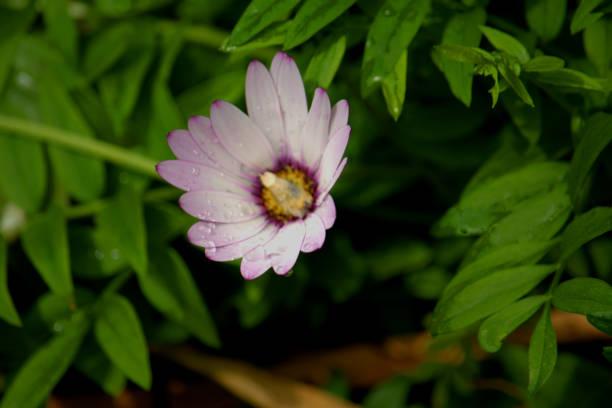 Margarida como flor de osteospermum - foto de acervo