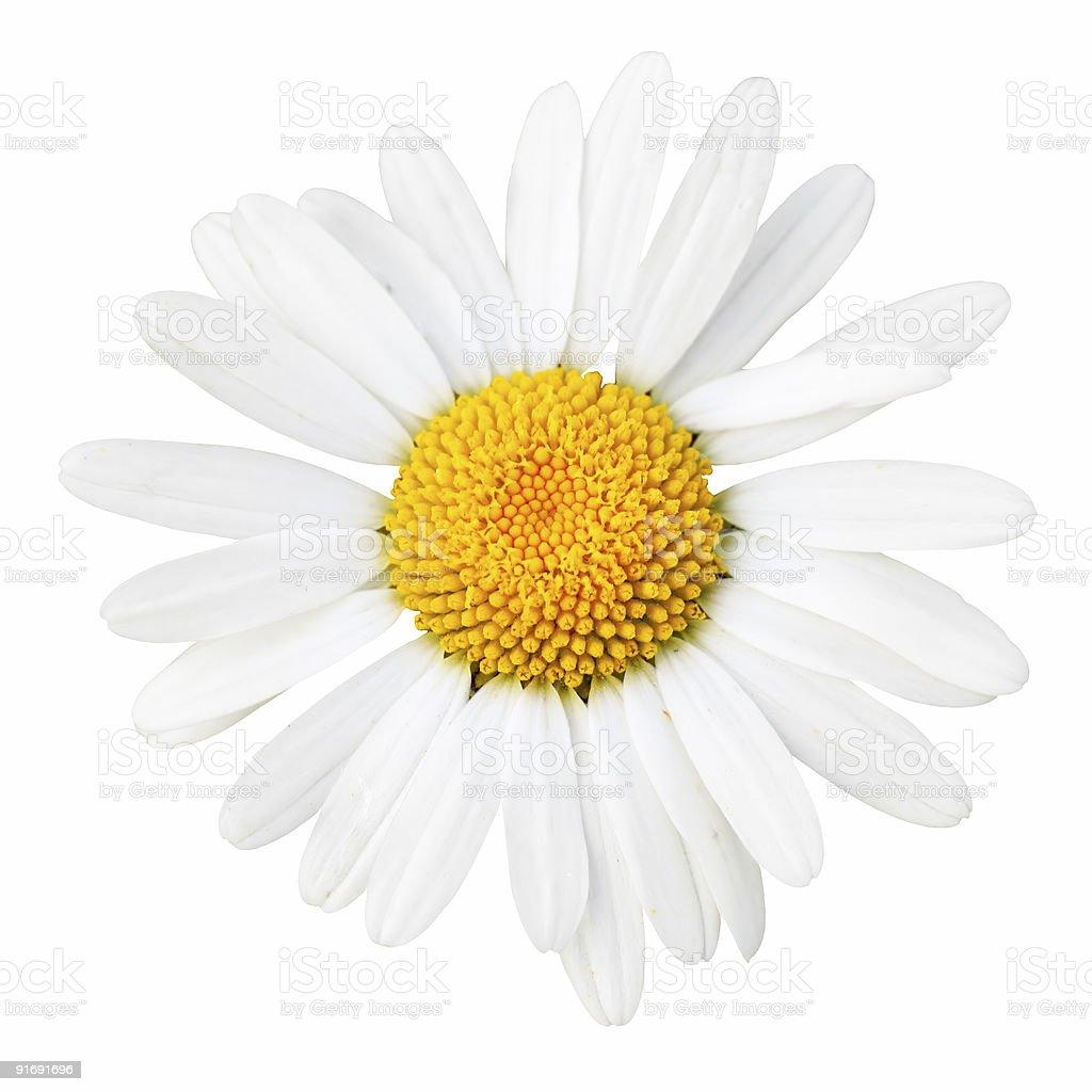 Daisy macro royalty-free stock photo
