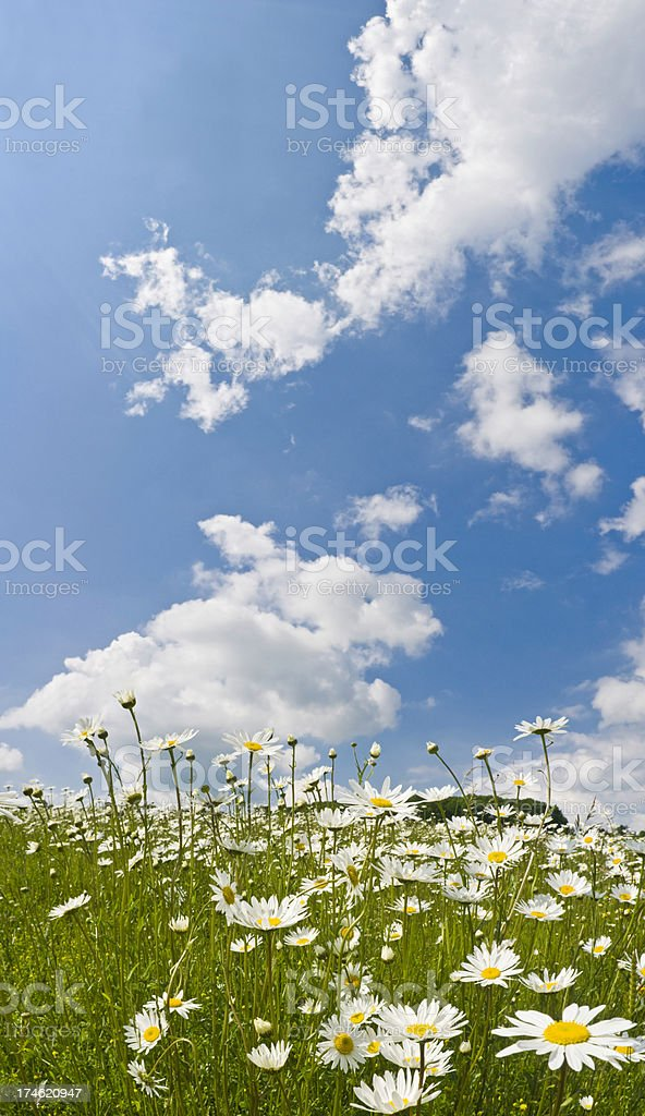 Daisy meadow big blue skies royalty-free stock photo