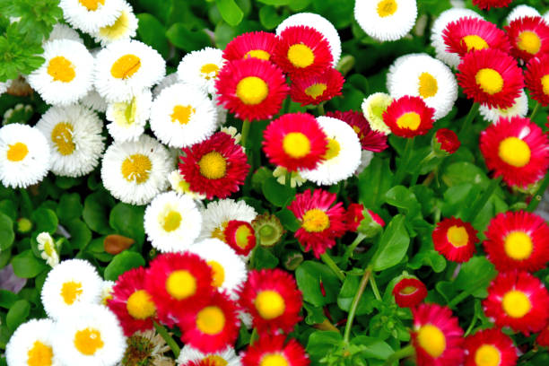 daisy van verschillende kleuren - madeliefje stockfoto's en -beelden