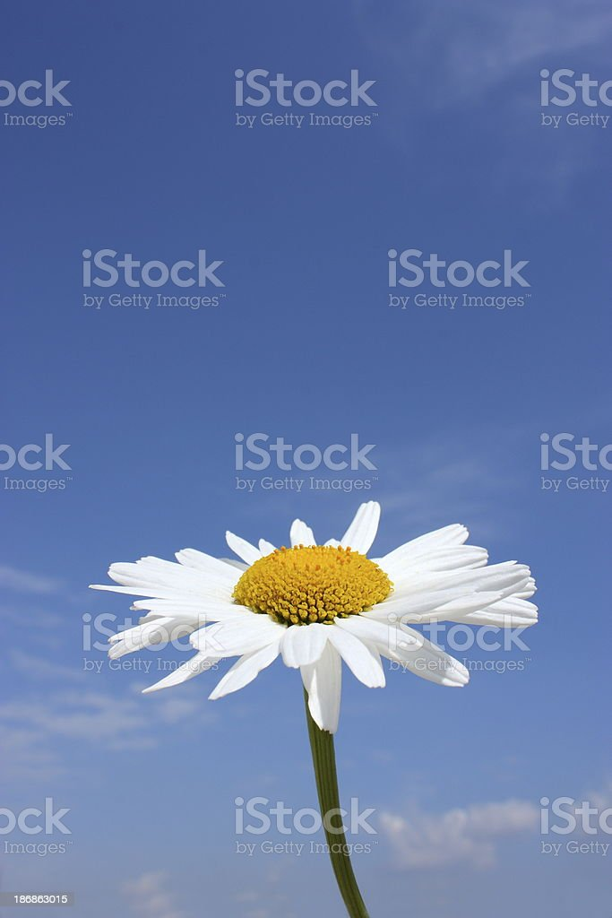 Daisy on a Blue Sky stock photo