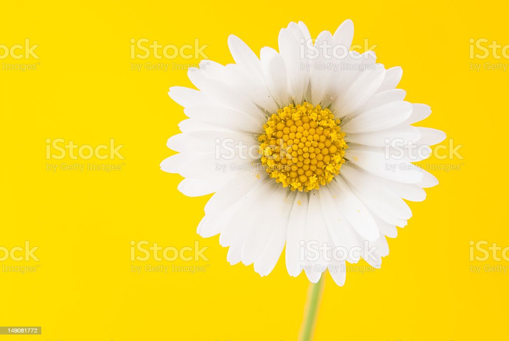 Daisy on a bright yellow background royalty-free stock photo