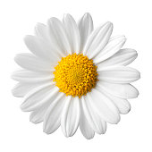 Daisy on a white background.