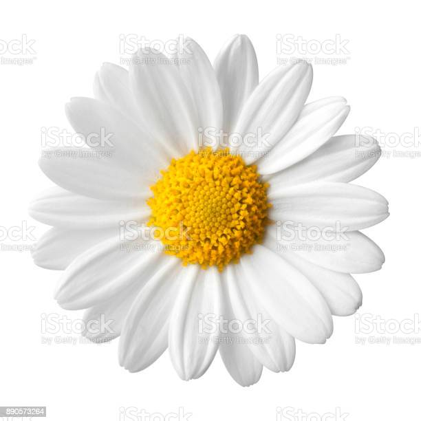 Daisy on a white background picture id890573264?b=1&k=6&m=890573264&s=612x612&h=5v4ovrdczboybmvlug6ct5fqyorutnzelu9o3paz9tq=