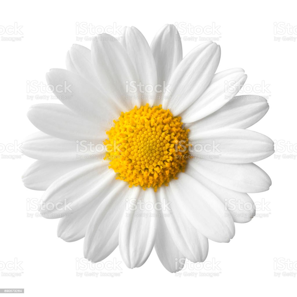 Daisy on a white background stock photo