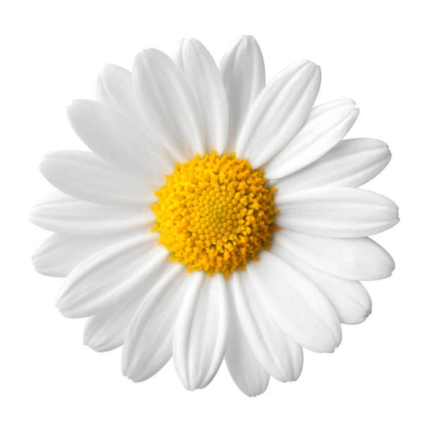 daisy on a white background - flowers stock photos and pictures