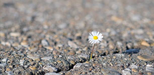 daisy on cracked ground stock photo