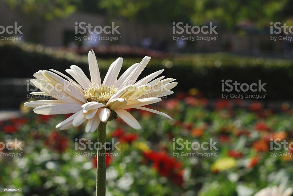 Stokrotka na ogród zbiór zdjęć royalty-free