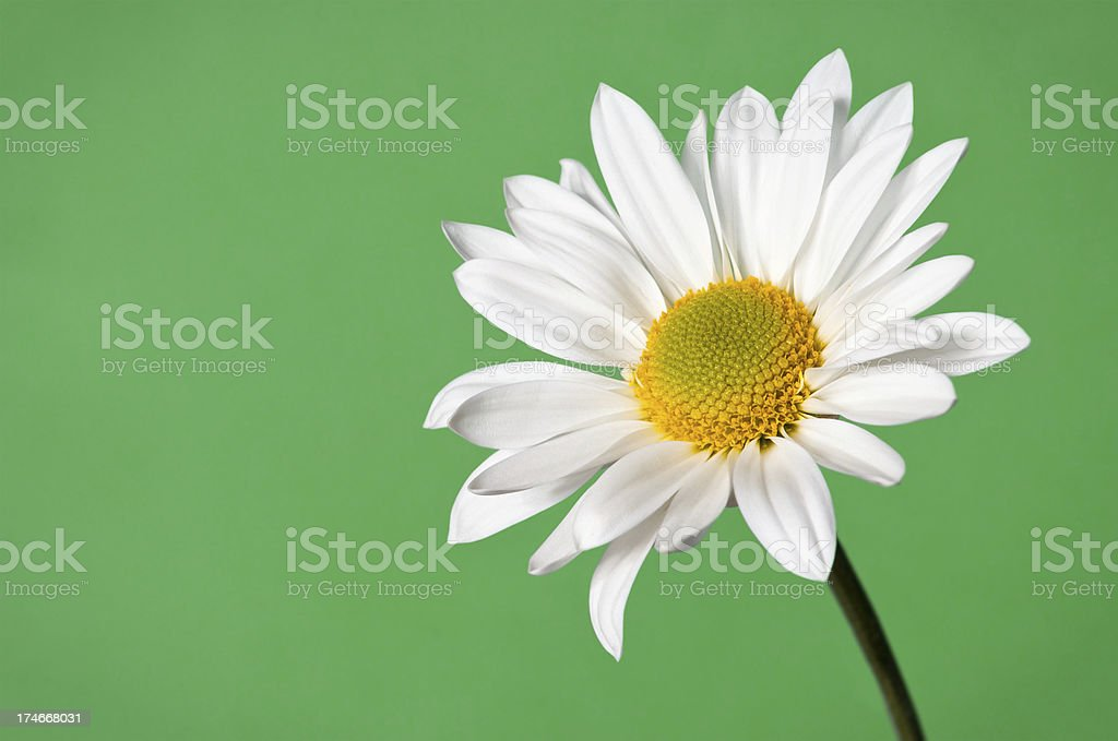daisy on green background royalty-free stock photo