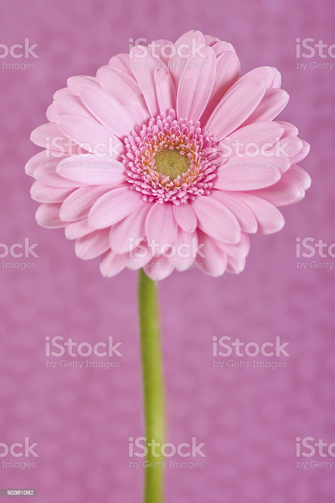 Daisy on pink royalty-free stock photo