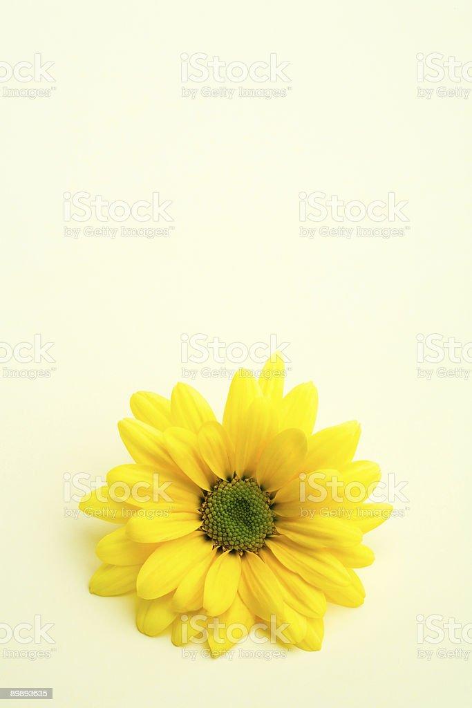 daisy on subtle yellow royalty-free stock photo