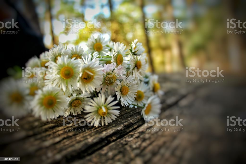 Daisy on the table royalty-free stock photo
