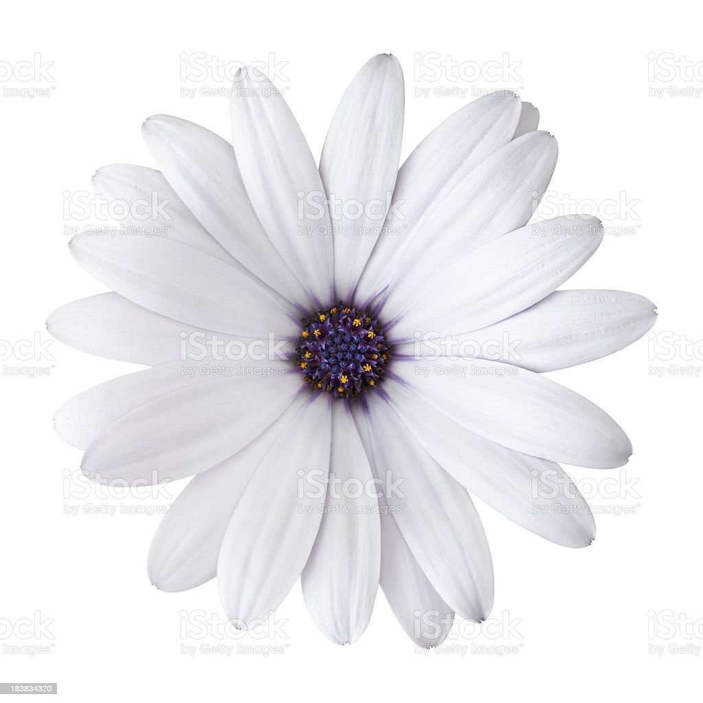 Daisy on white background. Detailed clipping path included royalty-free stock photo
