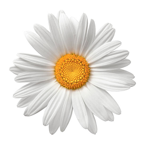 Daisy on white with clipping path picture id182838201?b=1&k=6&m=182838201&s=612x612&w=0&h=ay2ukbb fibu5j7orlx6vryesiycbhlzjobi1brqjqe=