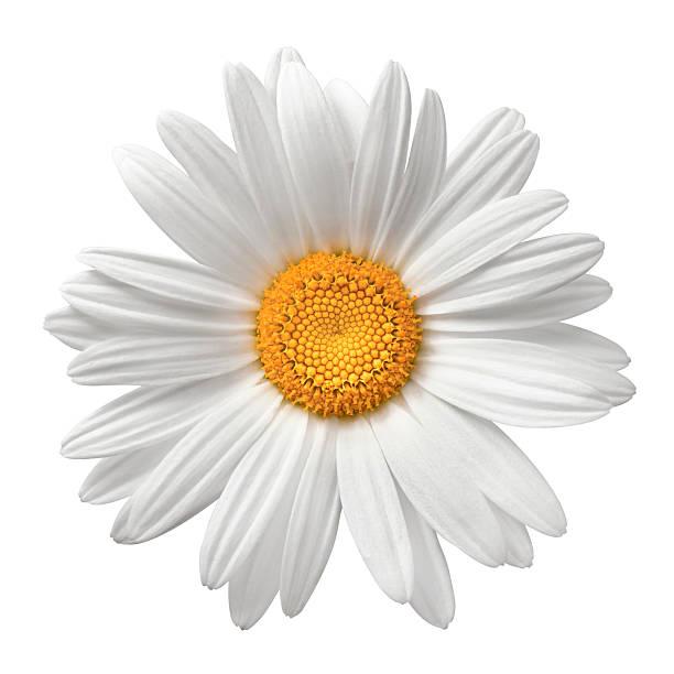 margarida no branco com traçado de recorte - uma única flor - fotografias e filmes do acervo