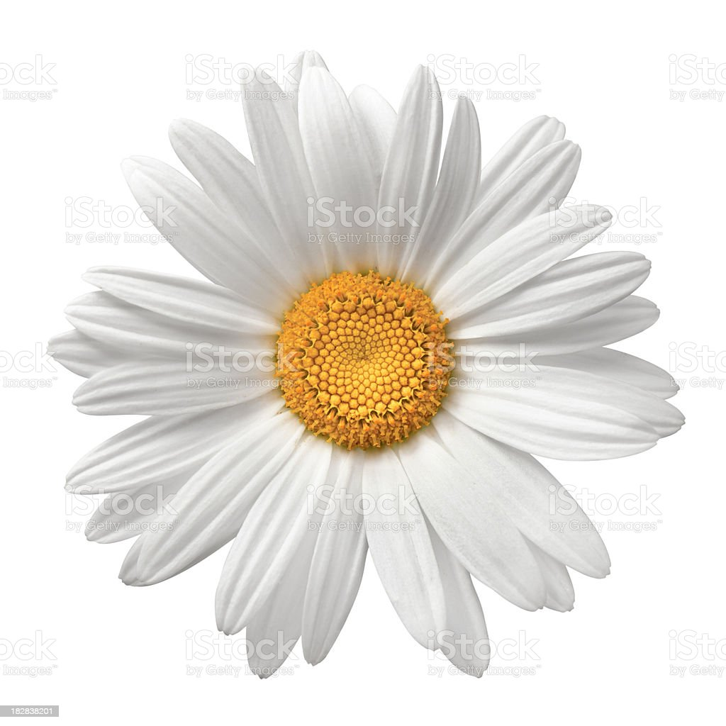 Daisy On White With Clipping Path stock photo