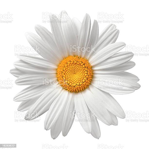 White daisy on white background. Detailed clipping path included.Flowers on white: