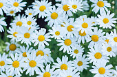 Daisy or chamomiles grass in the nature background.