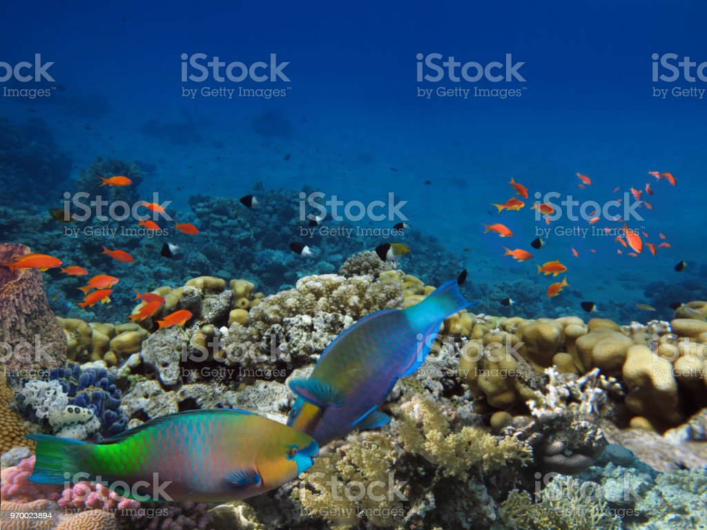 Daisy parrotfish stock photo