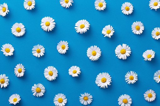 istock Daisy pattern. Flat lay spring and summer flowers on a blue background. Repeat concept. Top view 670950270